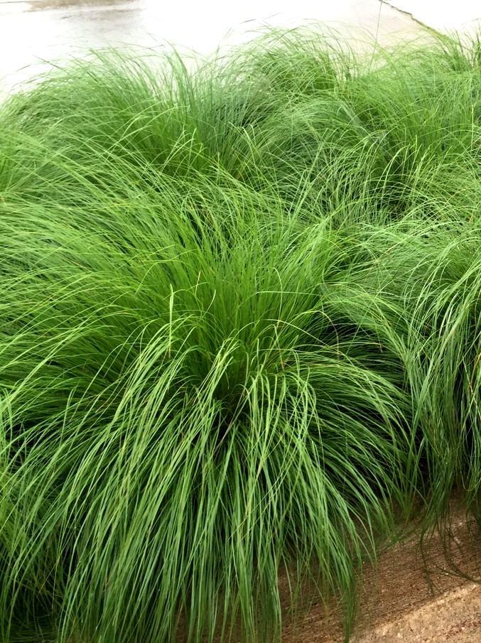sporobol różnołuskowy - wieloletnia trawa ozdobna