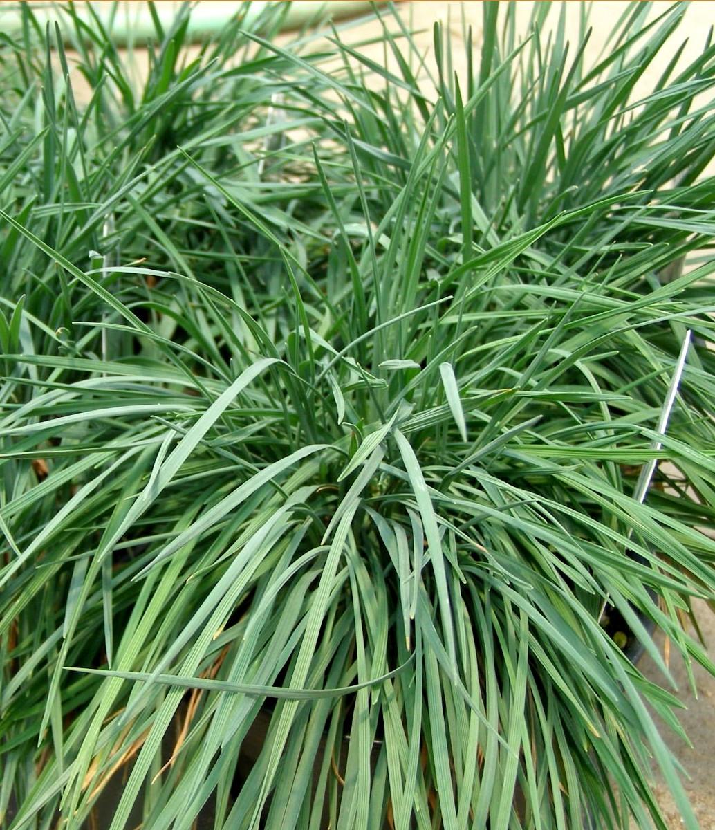 strzeplica coolio - zimozielona trawa wieloletnia