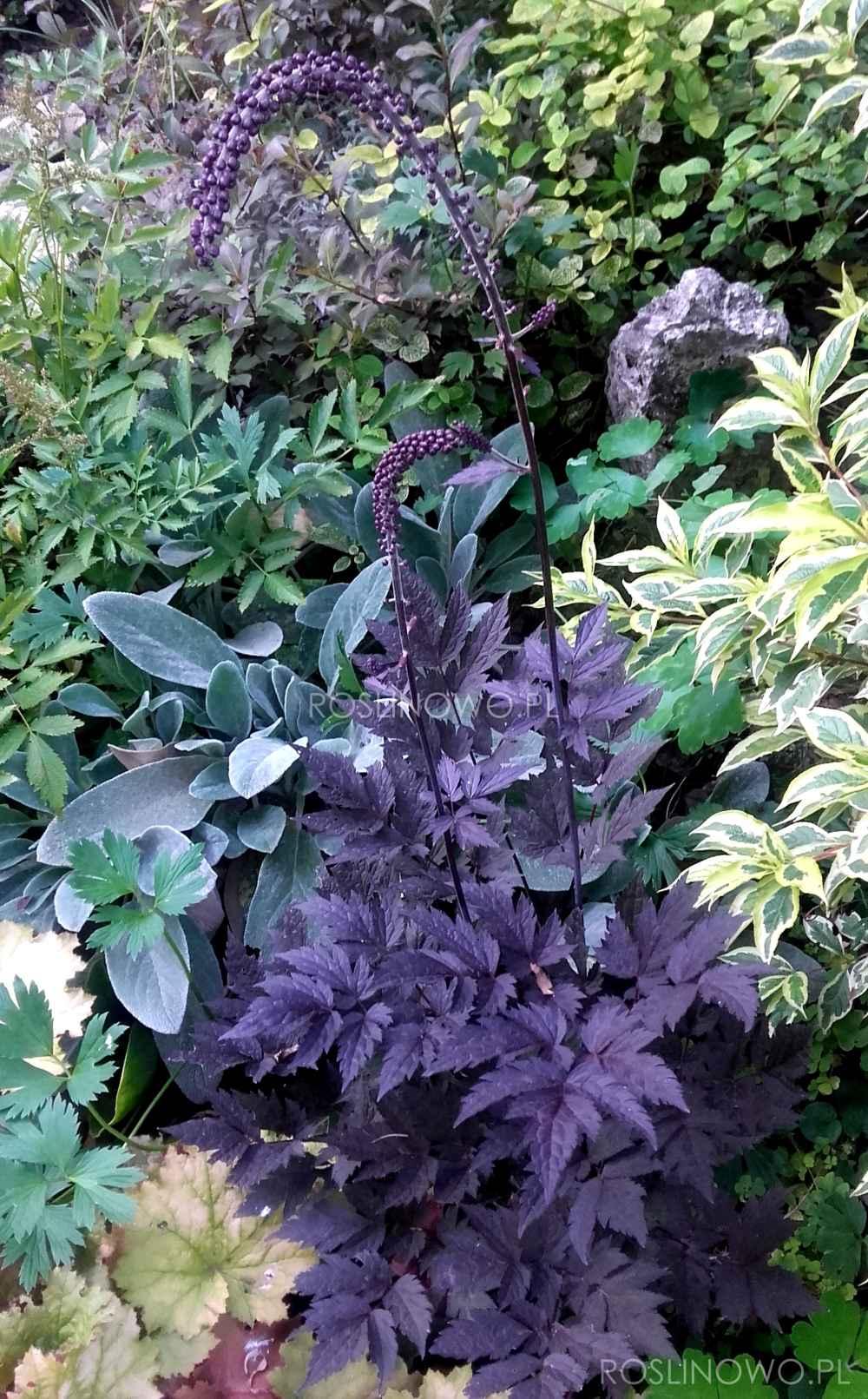 Świecznica Black Negligee - wieloletnia roślina ogrodowa