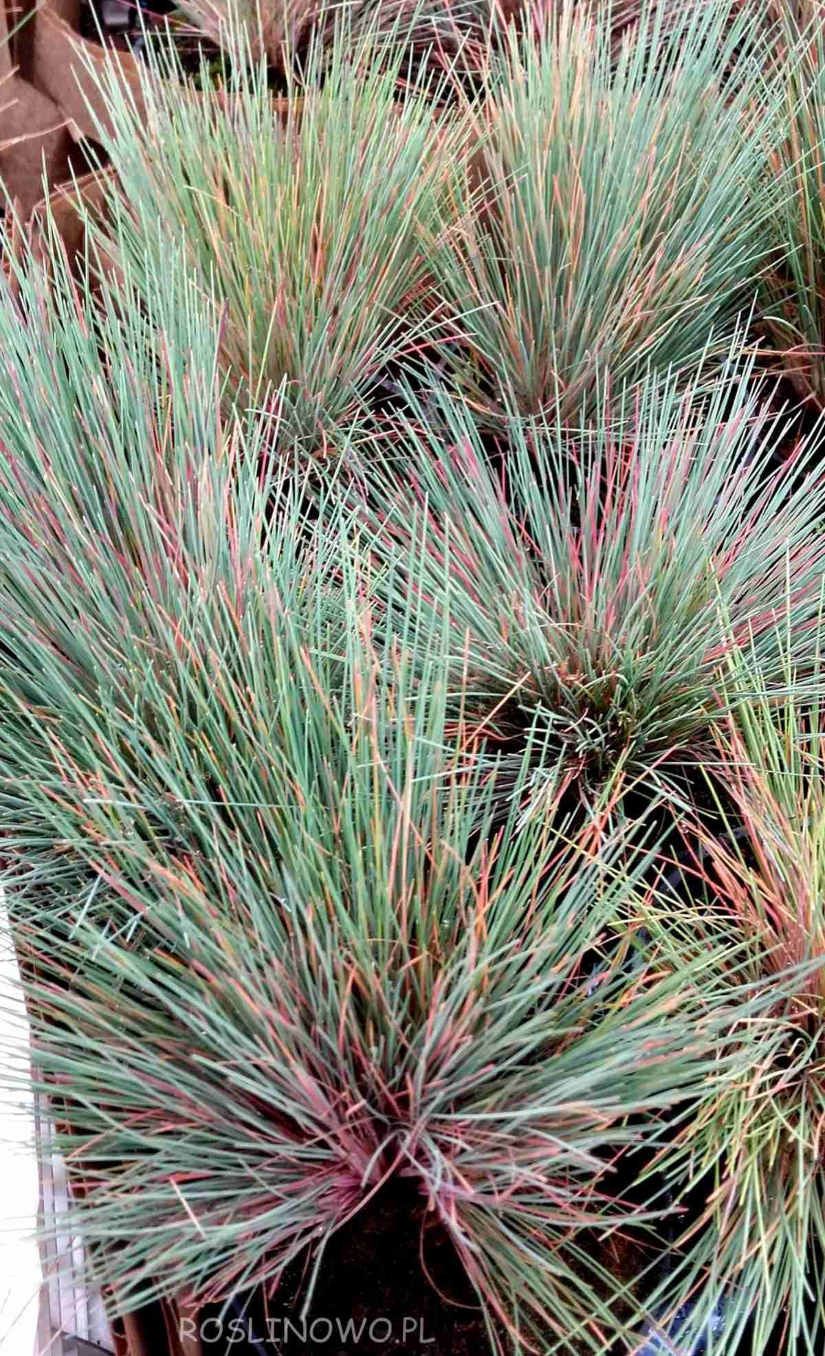 Szczotlicha siwa Spiky Blue
