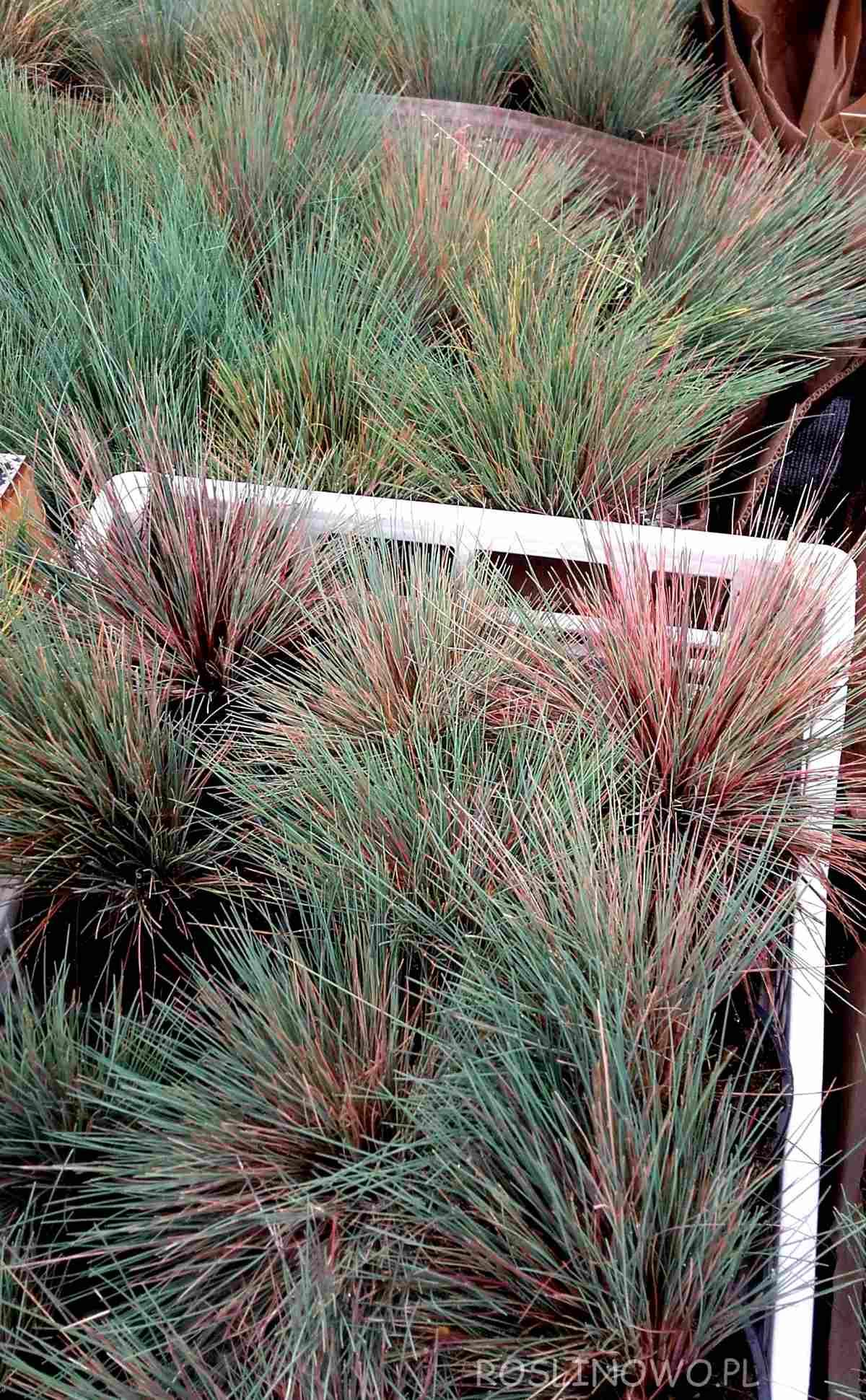 Szczotlicha siwa Spiky Blue trawa kępkowa ogrodowa