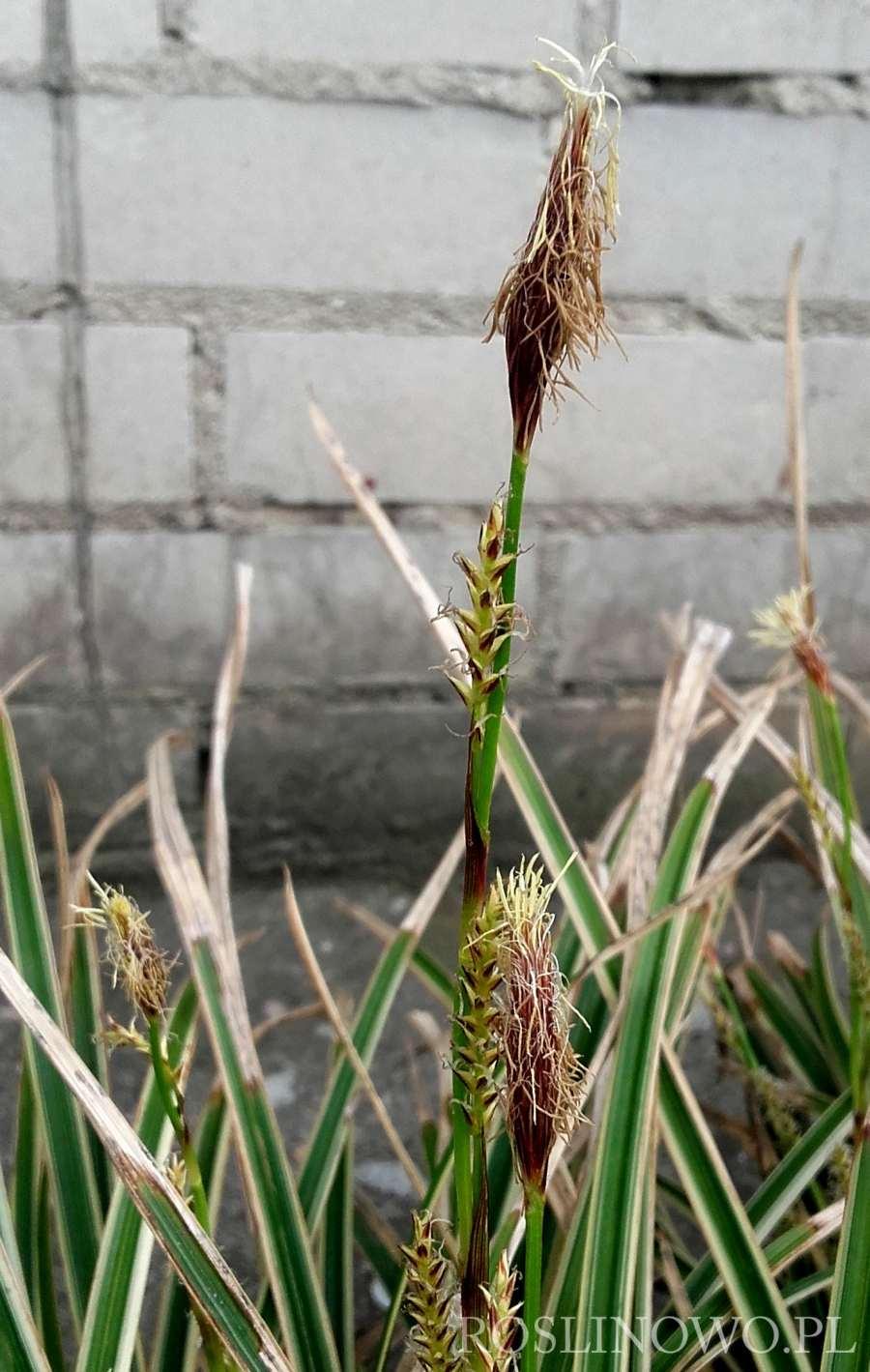 kwiat turzycy morrowej