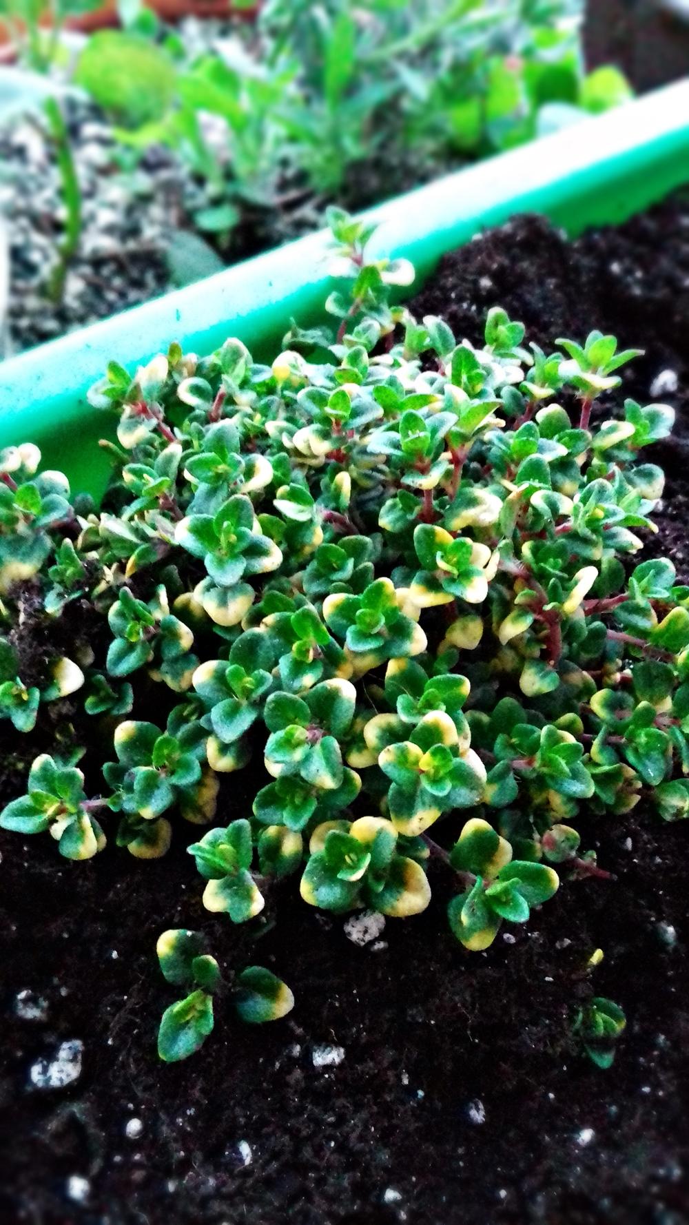 tymianek cytrynowy - pachnąca bylina o dwubarwnych liściach i cytrynowym aromacie