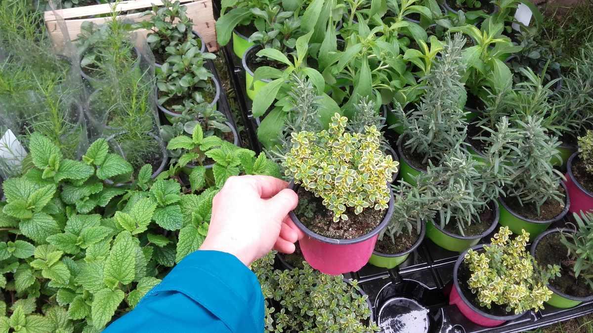 tymainek - wieloletnia bylina zielna o dwukolorowych liściach i cytrynowym zapachu
