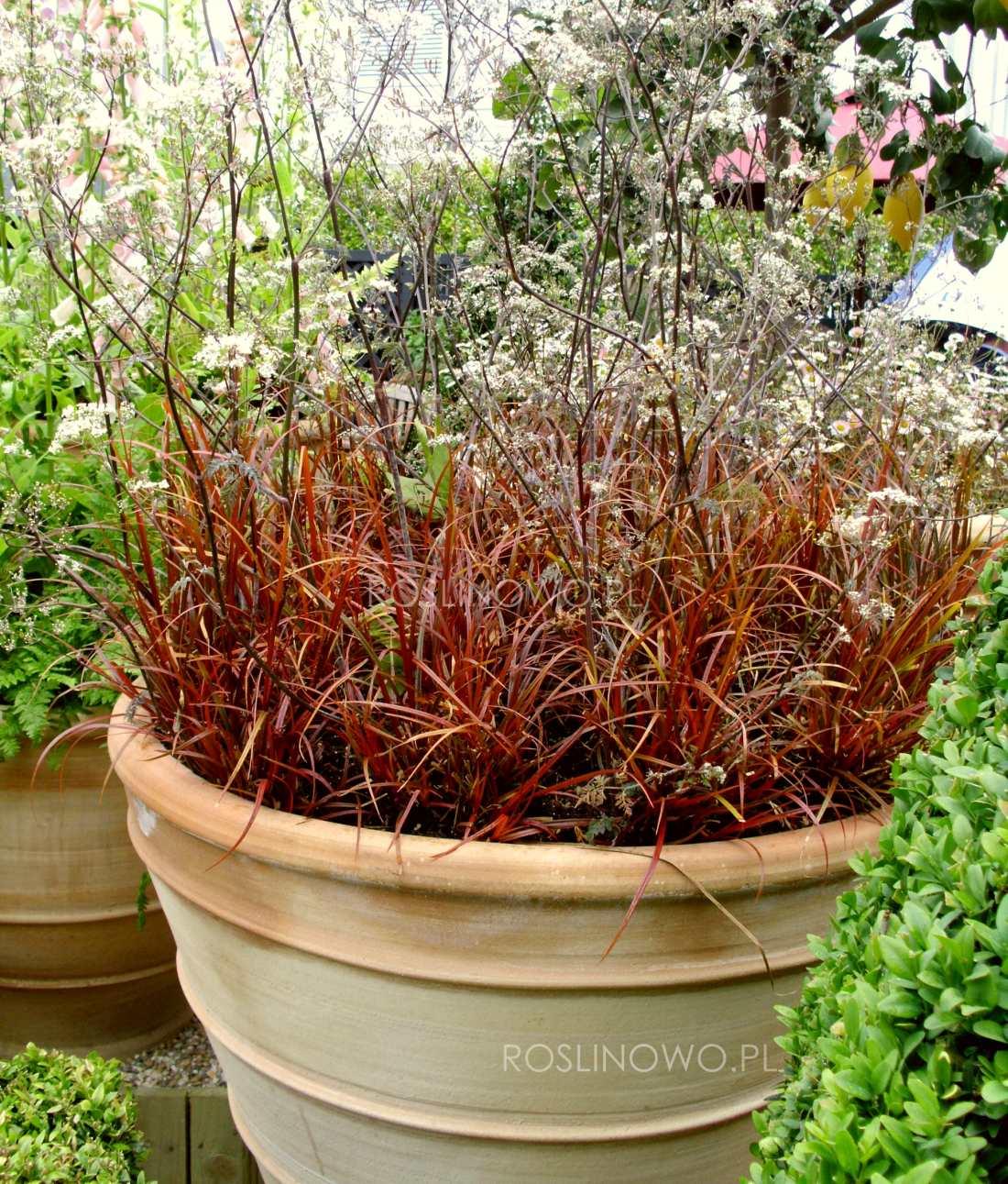 Uncinia czerwona - trawa ozdobna czerwona