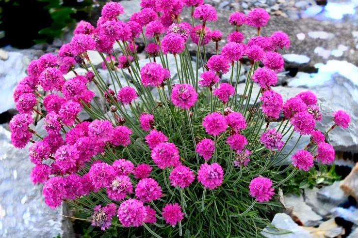 Zawciąg Armada Rose - wieloletnia bylina ogrodowa