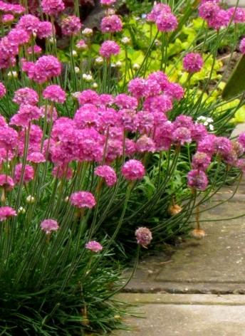 Zawciąg Armada Rose - ozdobna bylina o różowych kwiatach