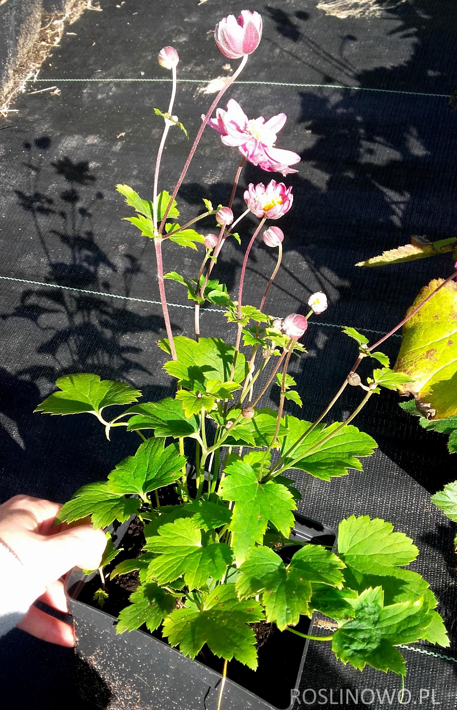 Zawilec Margarete - sadzonka w pojemniku P13