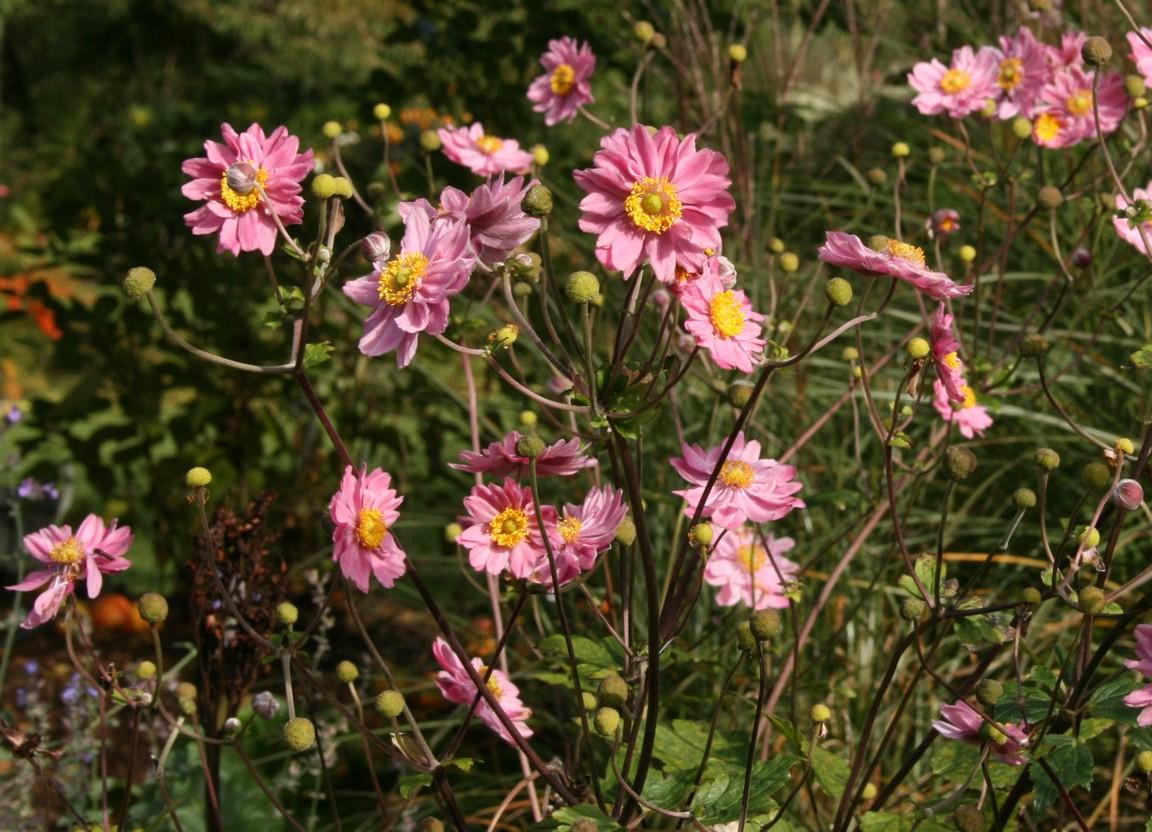 zawilec mieszańcowy pamina - wieloletnia bylina ozdobna o fioletowych kwiatach