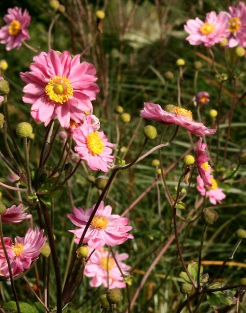zawilec pamina - roślina ogrodowa na stanowiska wilgotne i półcieniste