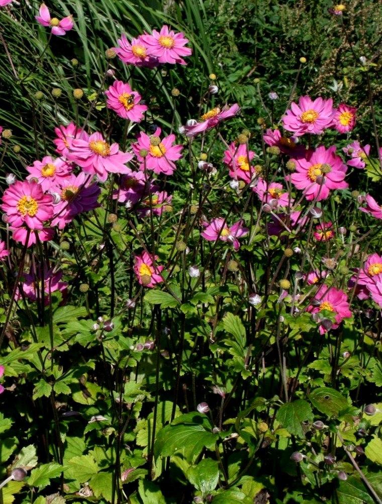 zawilec mieszańcowy pamina- roślina do półcienia na rabaty i do ogrodów bardzo dekoracyjna