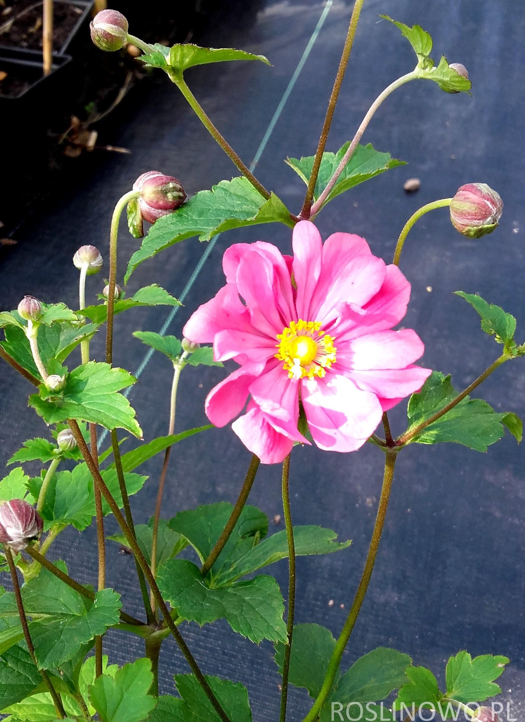 Kwiat zawilca'Pamina'