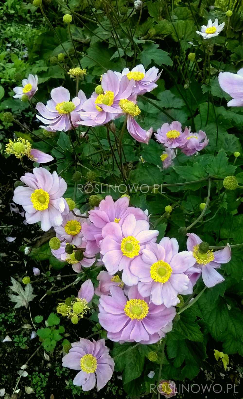 Zawilec japoński September Charm - wieloletnia roślina ogrodowa