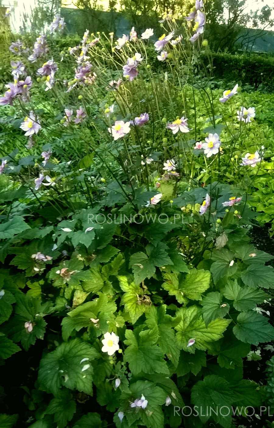 Zawilec japoński September Charm - kwiaty ogrodowe jesieni