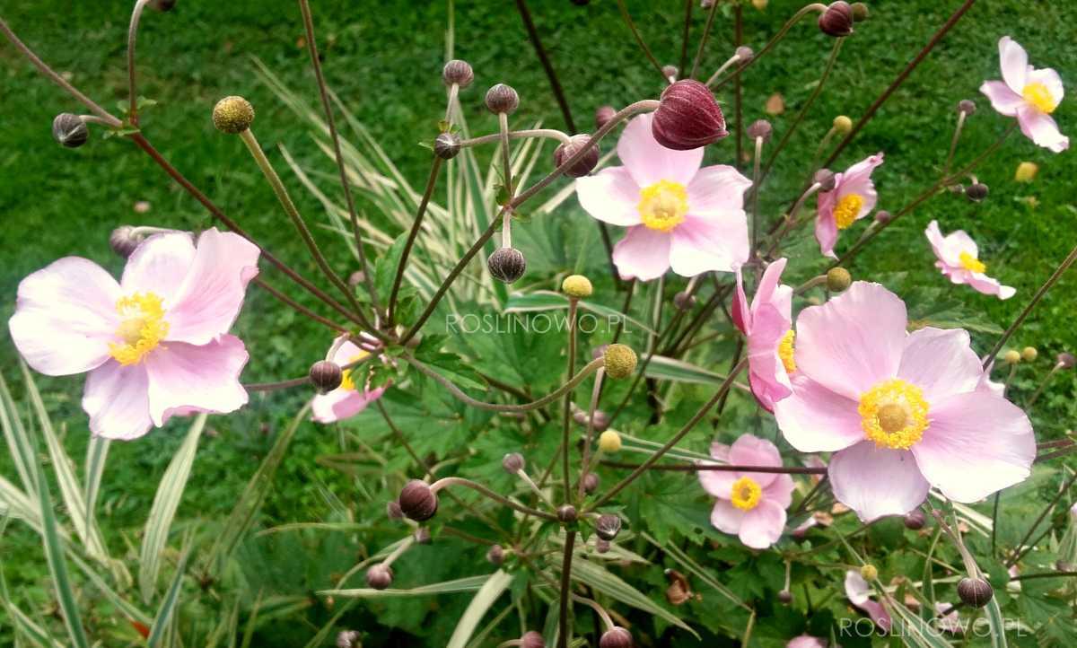 Zawilec japoński September Charm - kwiaty wieloletnie różowe