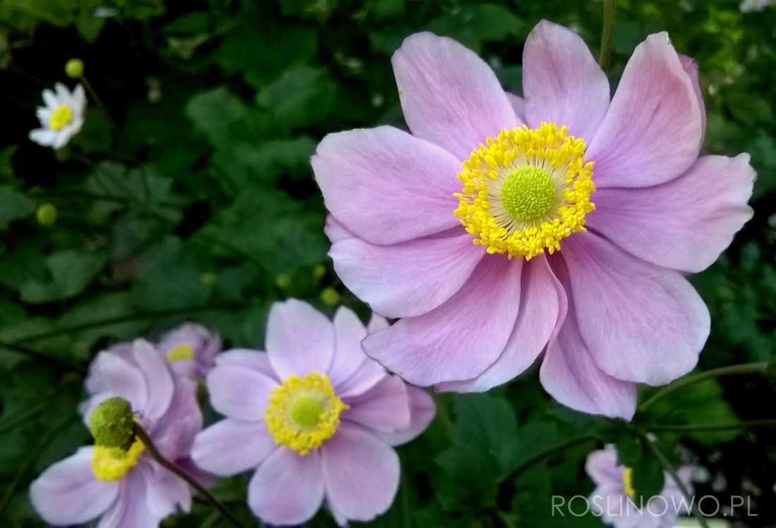 Zawilec japoński September Charm - bylina kwitnąca różowa do słońca