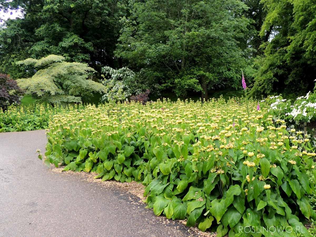 Żeleźniak Russela - bylina kwitnąca