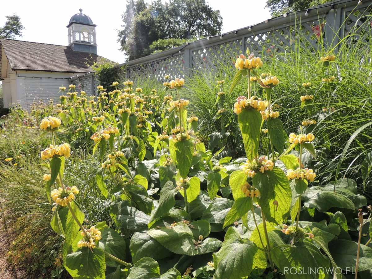 Żeleźniak Russela - bylina ogrodowa