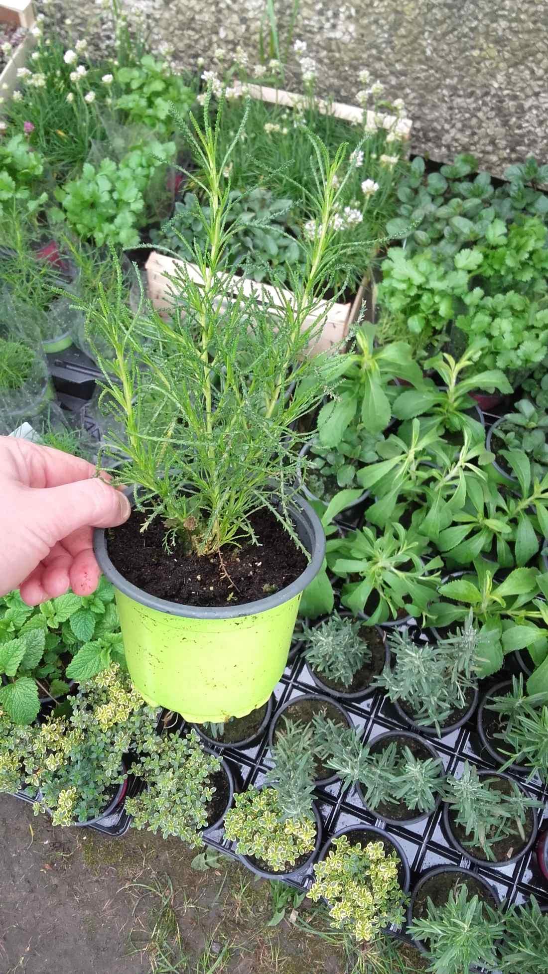 ziele oliwne - wieloletnia roślina zielna o właściwościach zdrowotnych