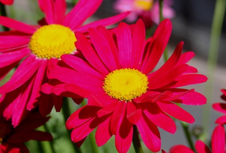 Złocień różowy Robinson Red - bylina różowa do słońca