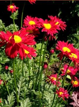 Złocień Robinson Red - wieloletnia kwitnąca roślina ogrodowa na letnie rabaty