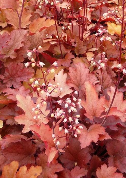 Żurawka Peach Flambe - bylina ozdobna z liści