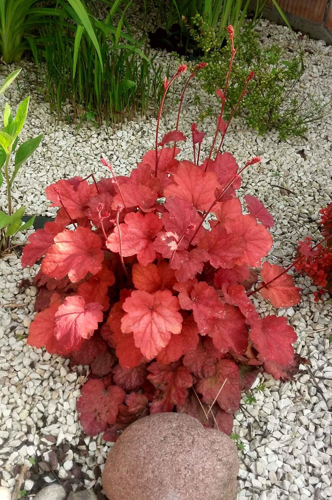 Żurawka Peach Flambe - wieloletnia roślina ozdobna