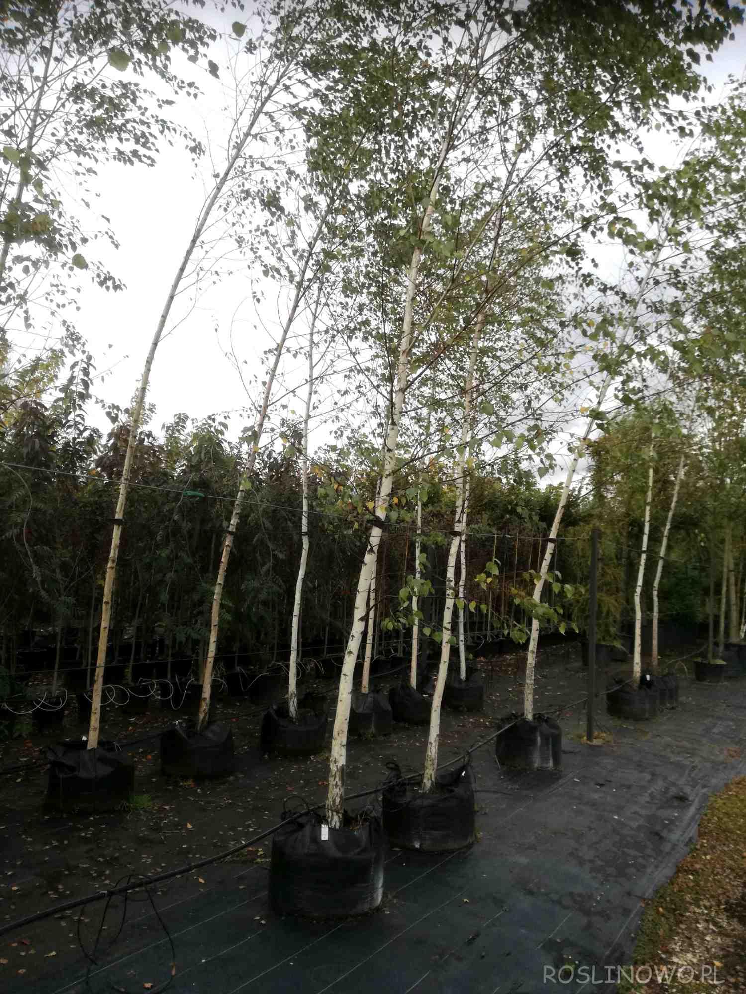 Duże sadzonki brzozy brodawkowatej