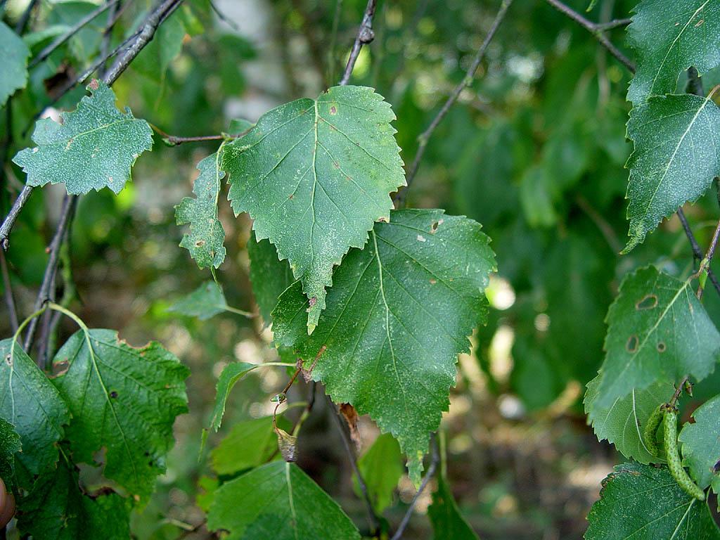 Liście brzozy brodawkowatej.