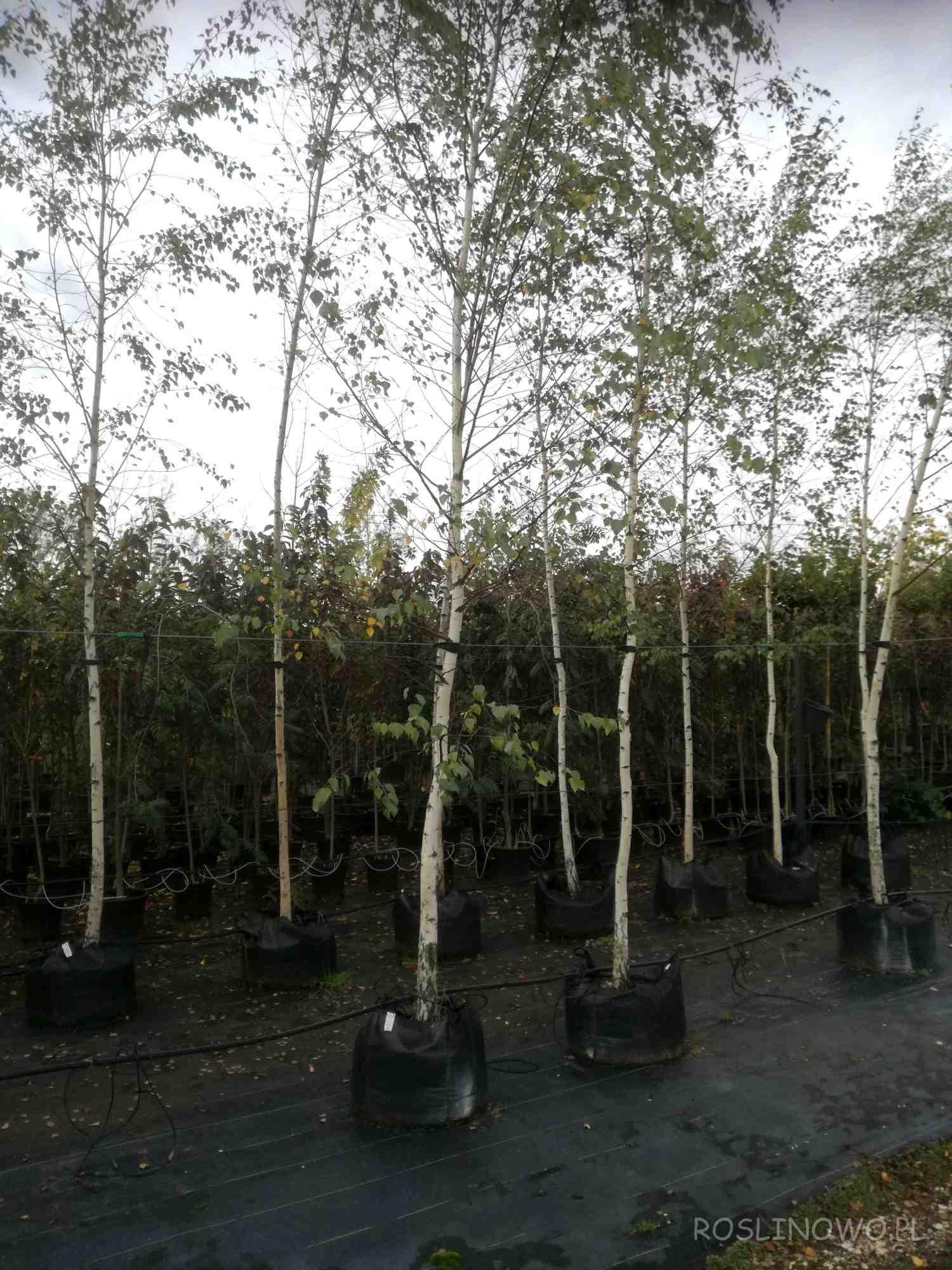Brzoza brodawkowata duże sadzonki drzew