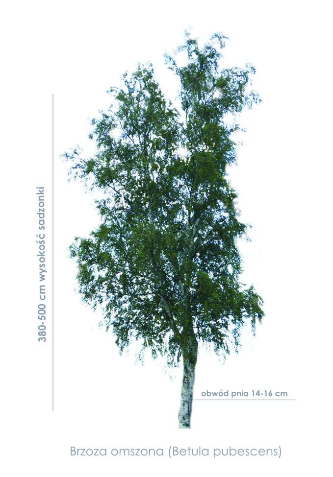 Brzoza omszona (Betula pubescens) duże sadzonki, drzewa liściaste, ogrodowe