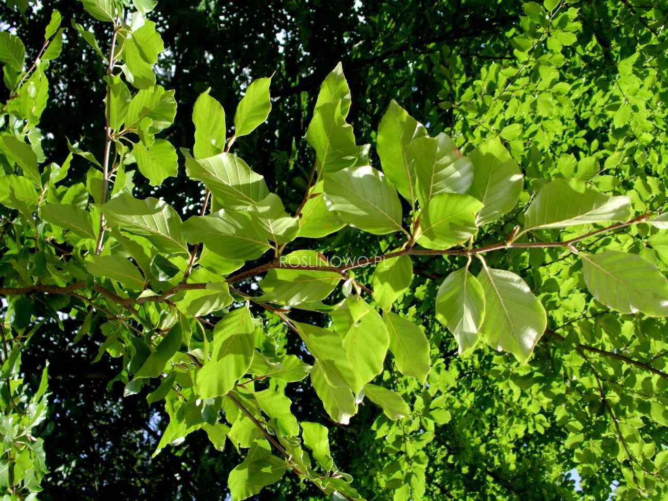Buk pospolity (fagus sylvatica) gatunek rodzimy.