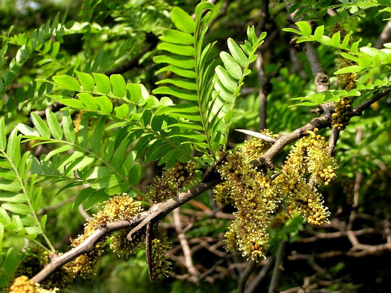 glediczja trójcierniowa - oryginalne ozdobne drzewo ogrodowe