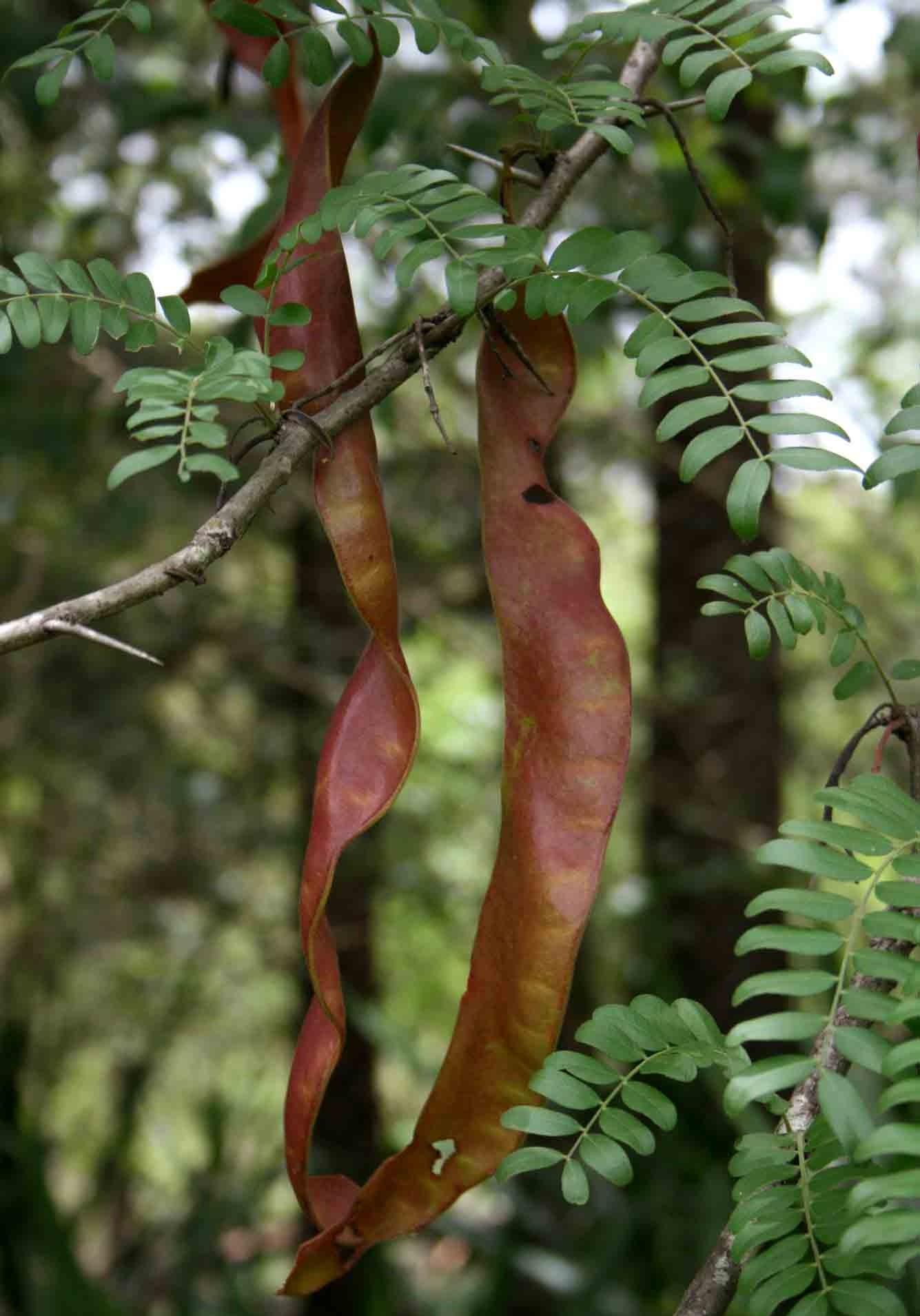 glediczja trójcierniowa - wysokie drzewo na słoneczne stanowiska