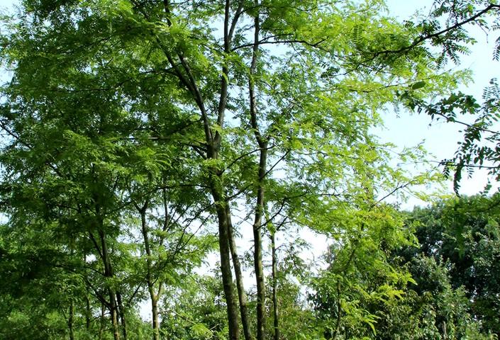 glediczja trójcierniowa - drzewo ozdobne o jadalnym strąkach