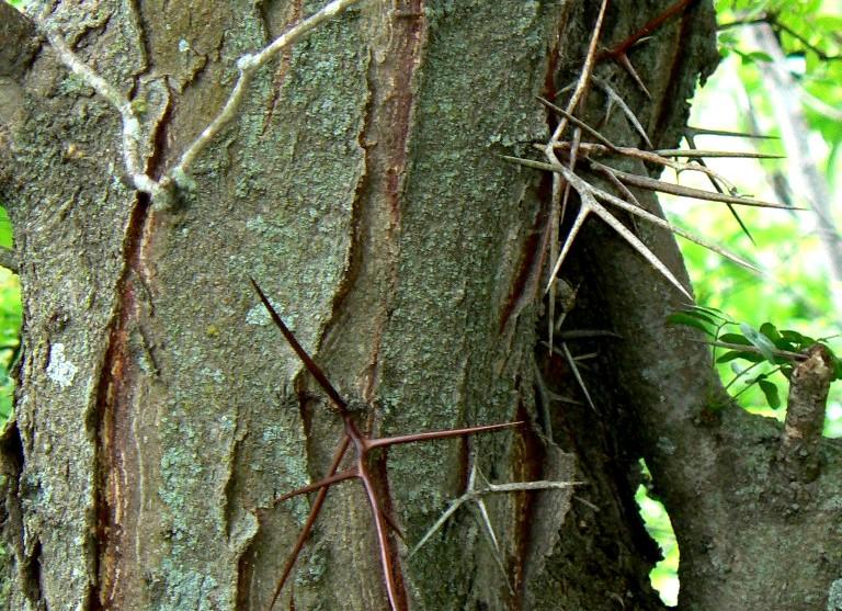 glediczja trójcierniowa - drzewo liściaste o ażurowej koronie i ciernistym pniu