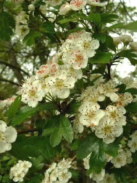 Kwiaty głogu dwuszyjkowego