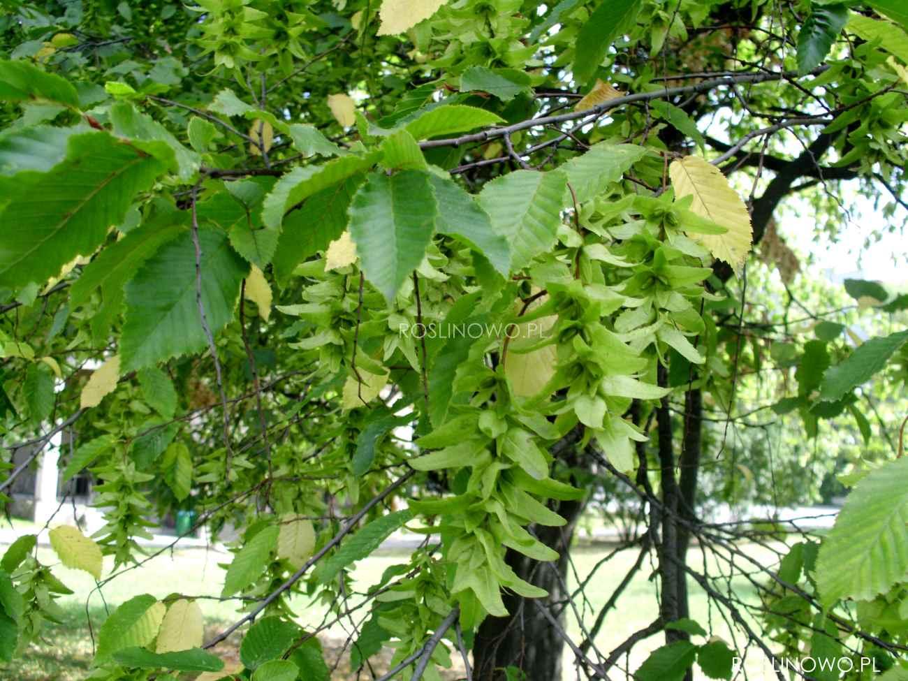 Piekne kwiatostany Grabu pospolitego to ozdoba drzewa