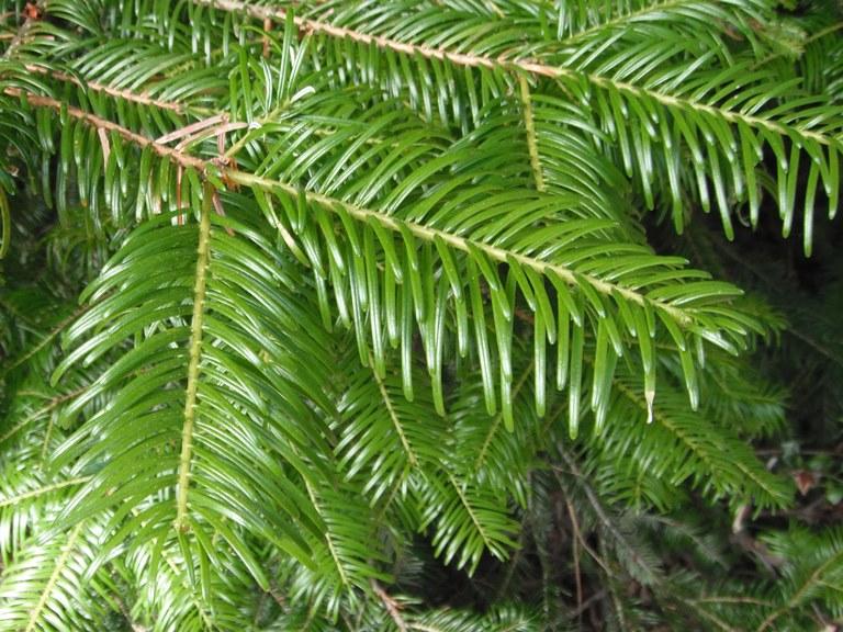 jodła pospolita - iglaste drzewko bożonarodzeniowe