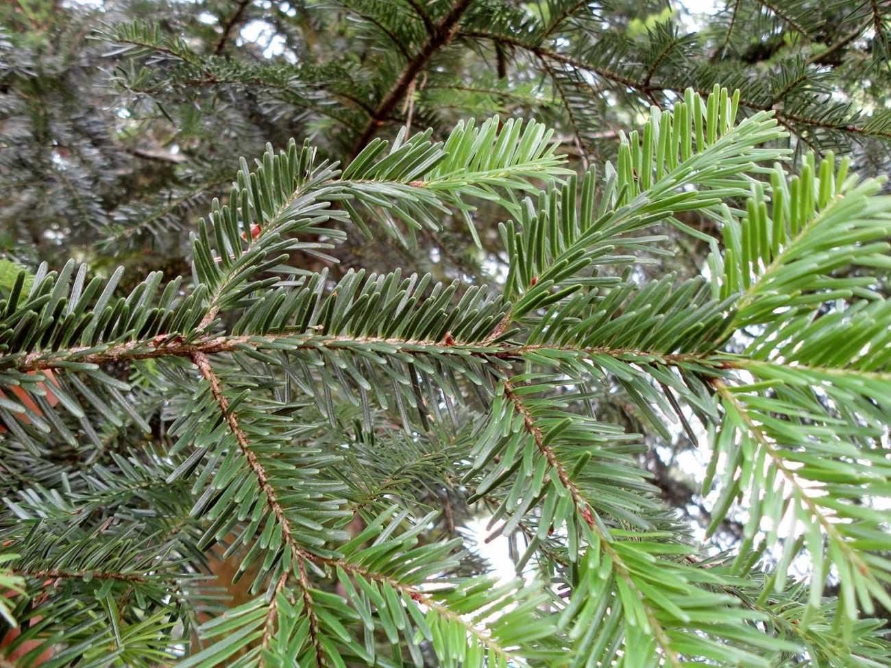 jodła pospolita - ozdobne drzewo iglaste o dużych szyszkach
