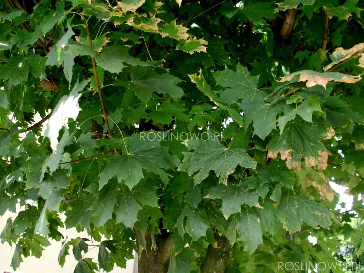 Klon pospolity (acer platanoides) liście