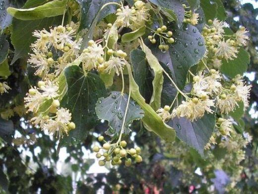 Kwiaty lipy drobnolistnej