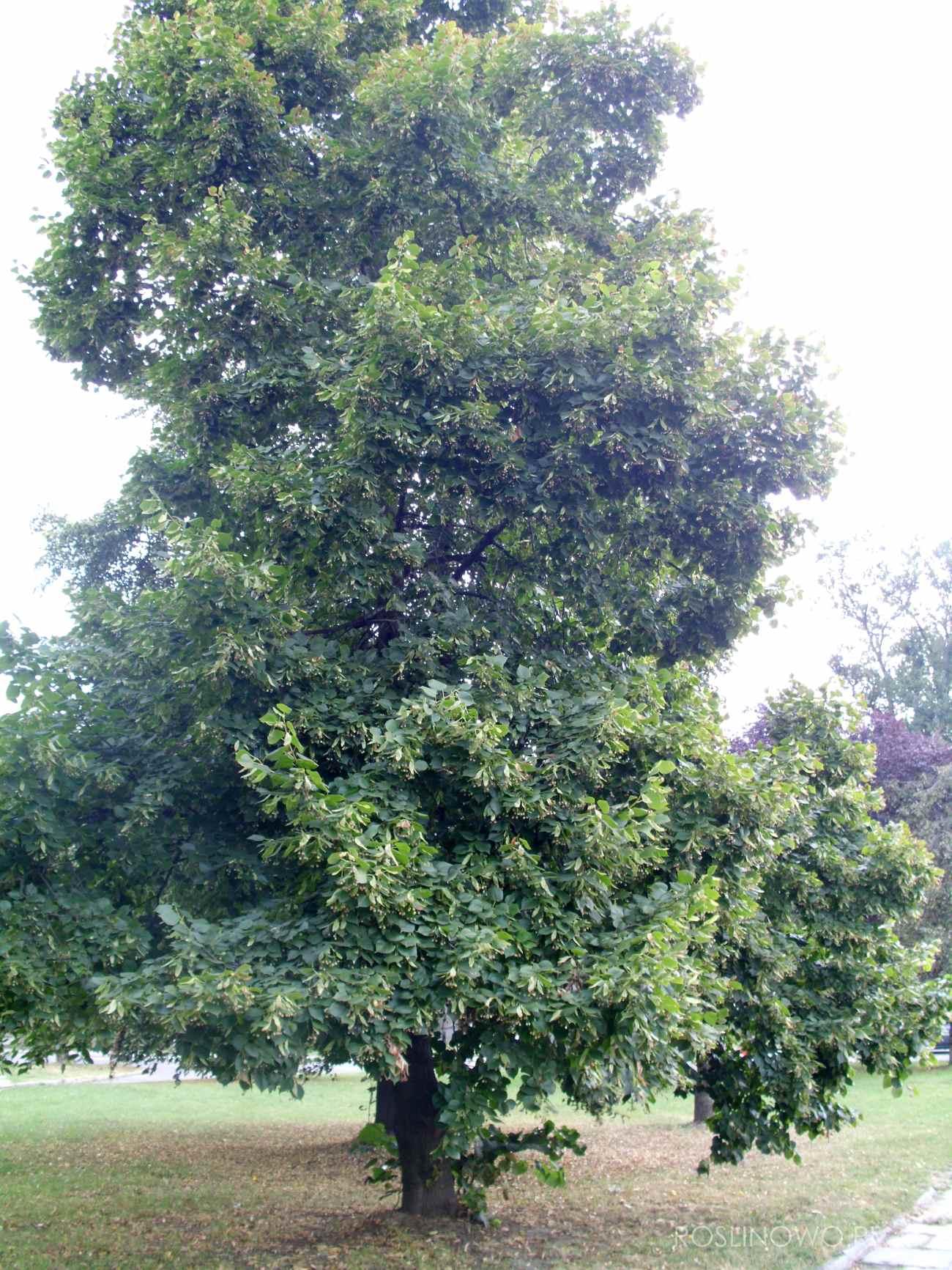 Lipa drobnolistna (Tilia cordata) podstawowe drzewo w terenach zieleni.