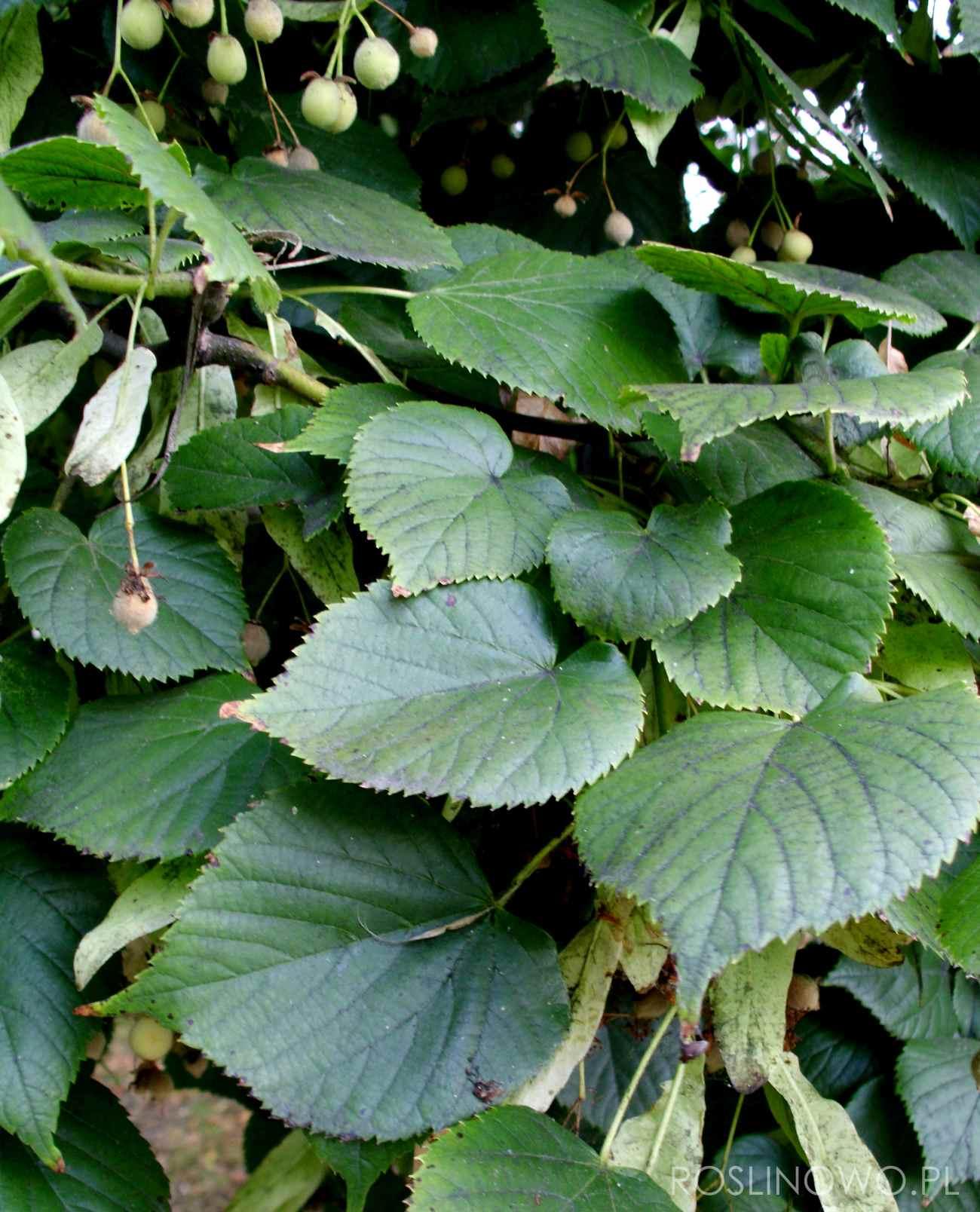 sercowate liście lipy