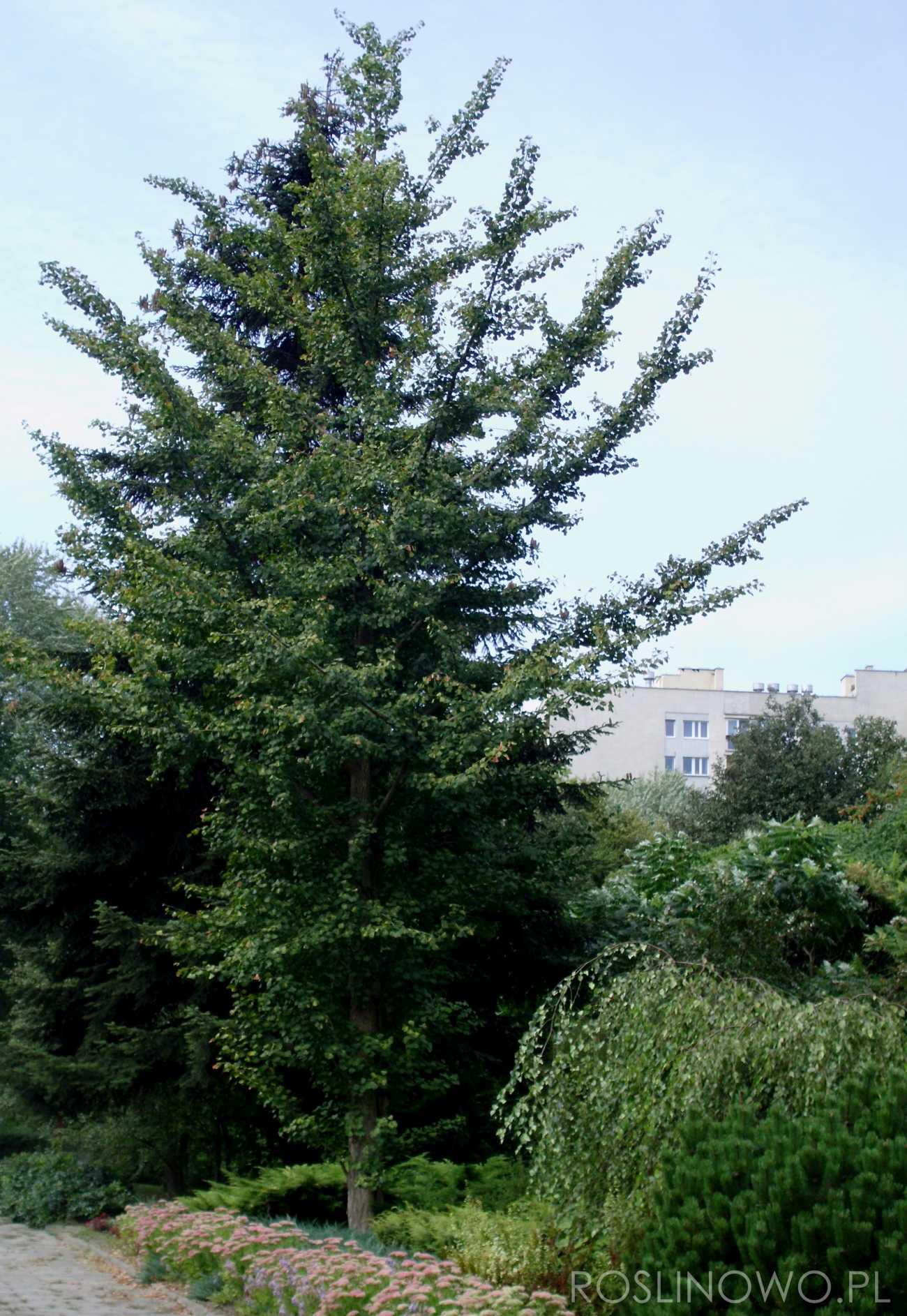 miłorząb japoński - wysokie drzewo o wachlarzowatych liściach