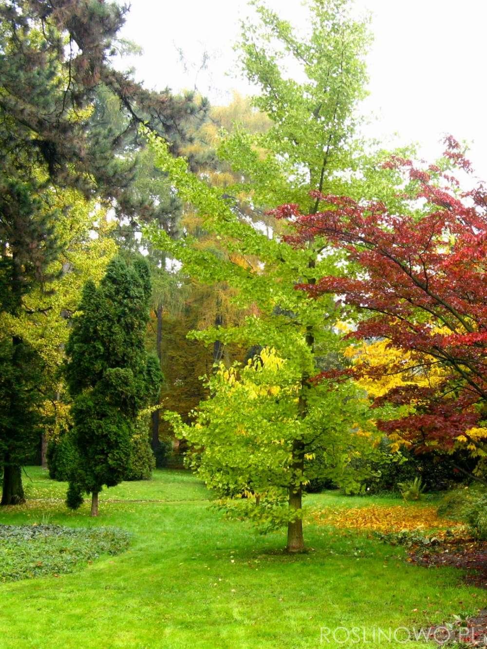 ginkgo biloba - pochodzące z Chin drzewo liściaste o walorach zdrowotnych