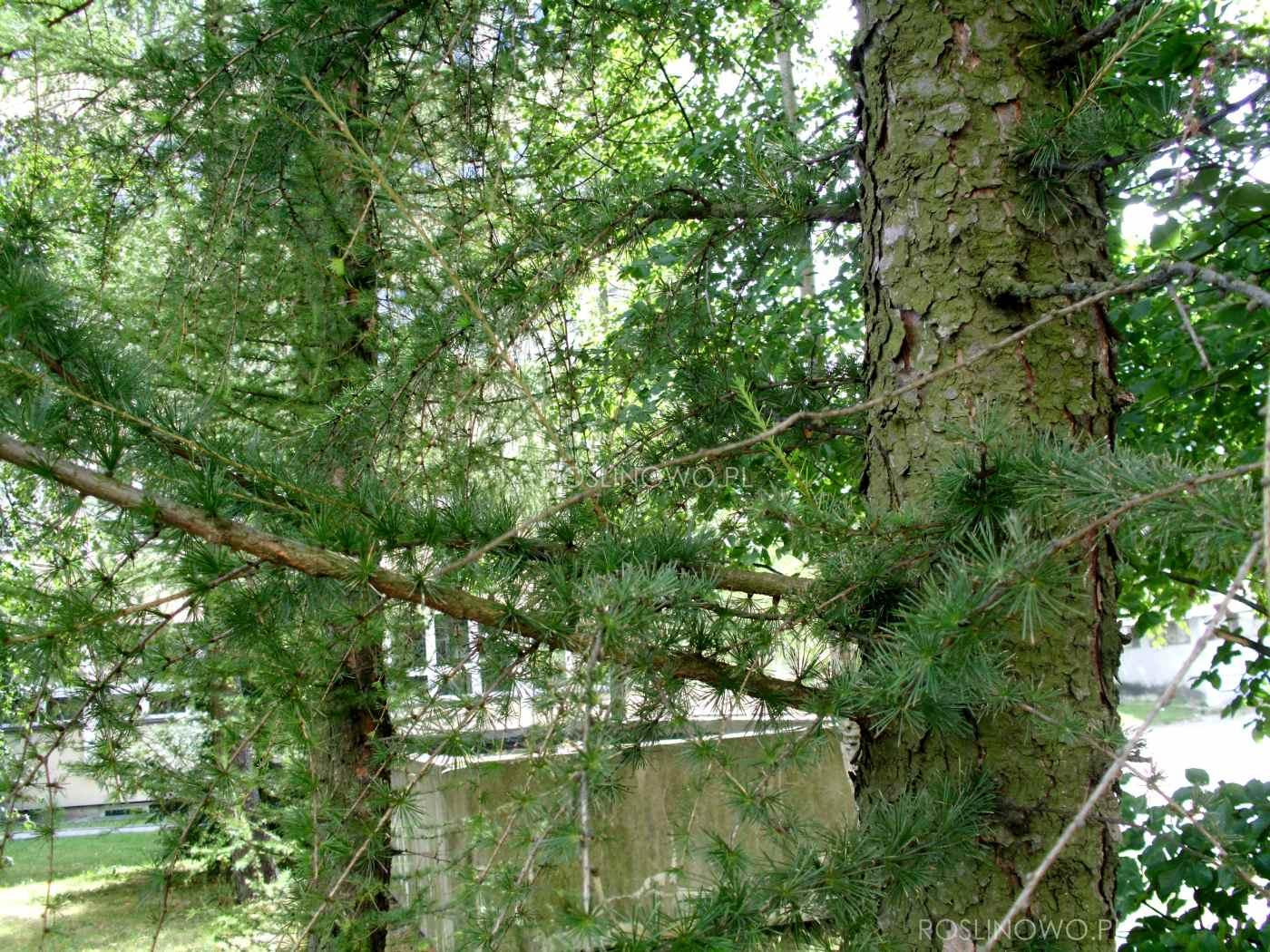 Modrzew europejski (Larix decidua) rodzime drzewo iglaste