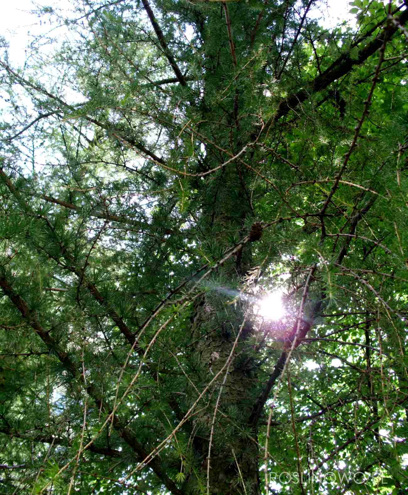 Modrzew europejski (larix decidua) popularne drzewo w terenach zieleni.