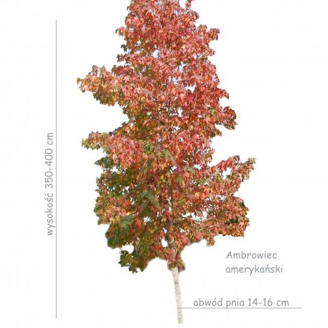 Ambrowiec amerykański (Liquidambar styraciflua) sadzonka o obwodzie pnia 14-16 cm