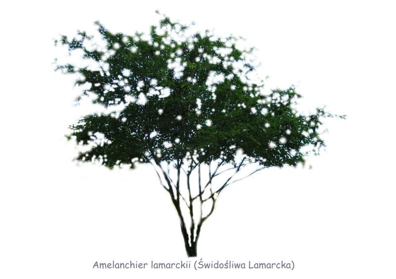 Amelanchier lamarckii Świdośliwa
